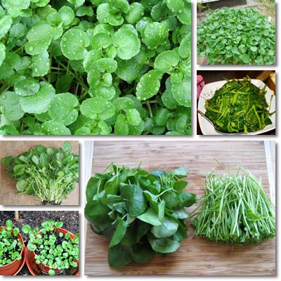 Properties and Benefits of Watercress