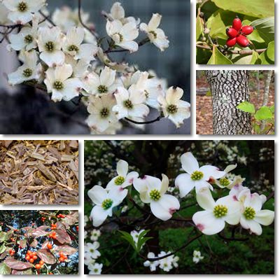 Properties and Benefits of American Dogwood