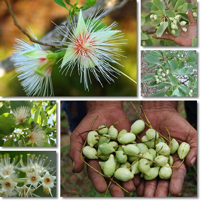 Properties and Benefits of Billy Goat Plum