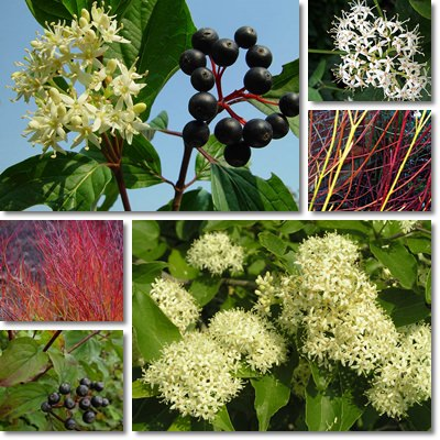Common dogwood