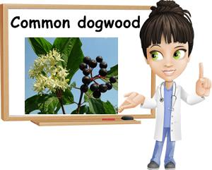 Cornus sanguinea benefits
