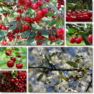 Properties and Benefits of Sour Cherries