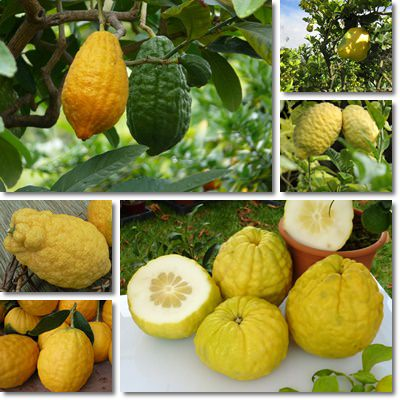 Properties and Benefits of Citron