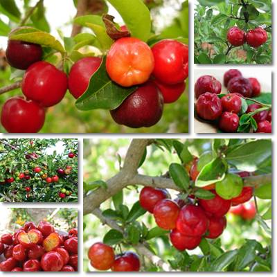 Properties and Benefits of Acerola