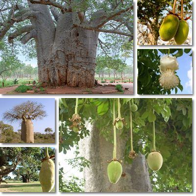 Properties and Benefits of Baobab