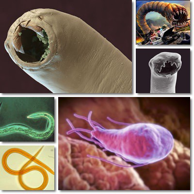 Worms and Intestinal Parasites: Causes, Symptoms and ...