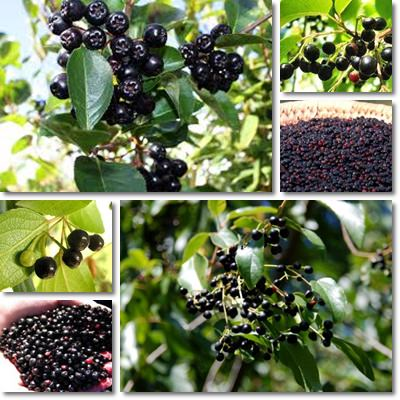 Properties And Benefits Of Maqui Berries Natureword