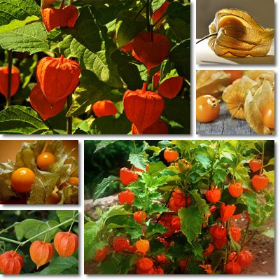 Properties and Benefits of Physalis