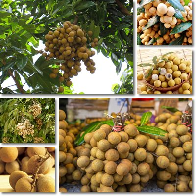 Properties and Benefits of Longan