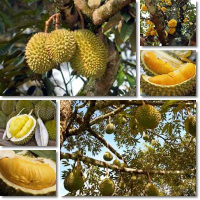 Durian side effects