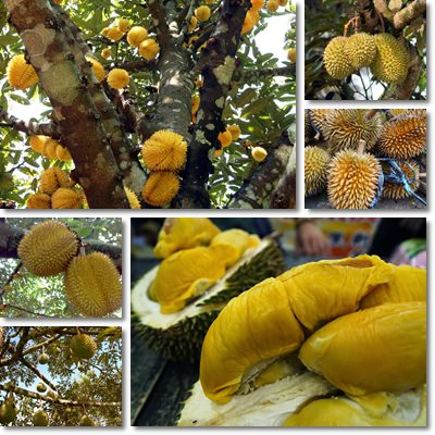 Properties and Benefits of Durian