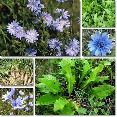 Properties and Benefits of Chicory