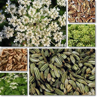 Properties and Benefits of Anise