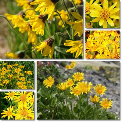 Properties and Benefits of Arnica