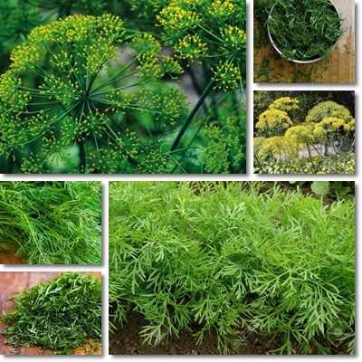 Properties and Benefits of Dill