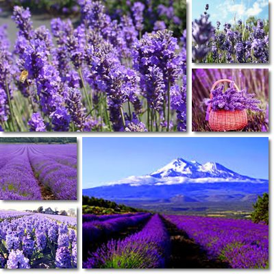 Properties and Benefits of Lavender