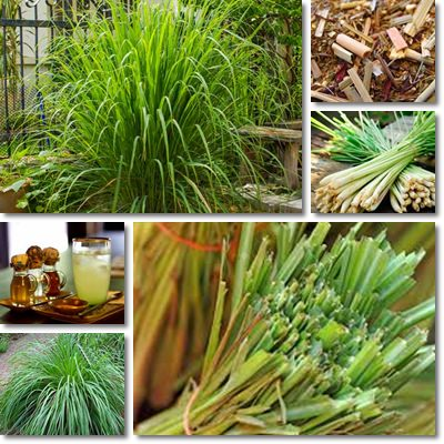 Properties and Benefits Of Lemon Grass