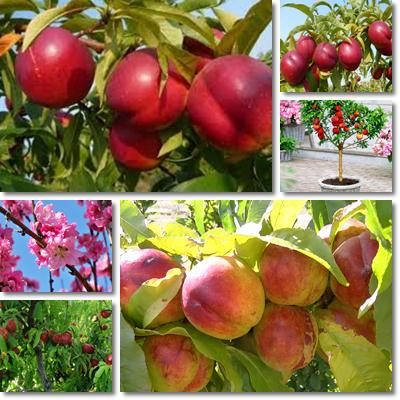 Properties and Benefits of Nectarines
