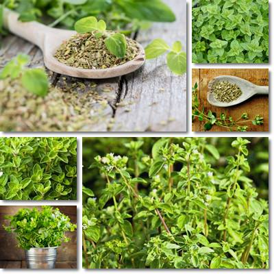 Properties and Benefits of Oregano