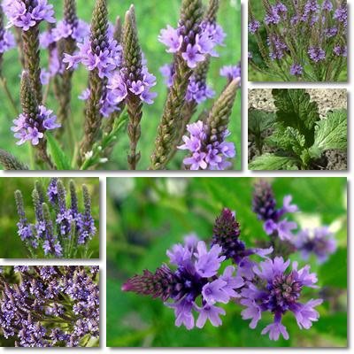 Properties and Benefits of Vervain
