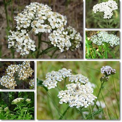Properties and Benefits of Yarrow