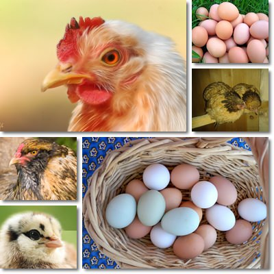 Chicken eggs benefits