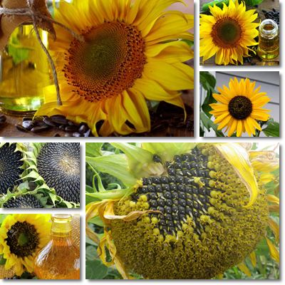 Properties and Benefits of Sunflower Oil