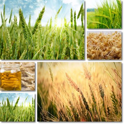 Properties and Benefits of Wheat Germ Oil