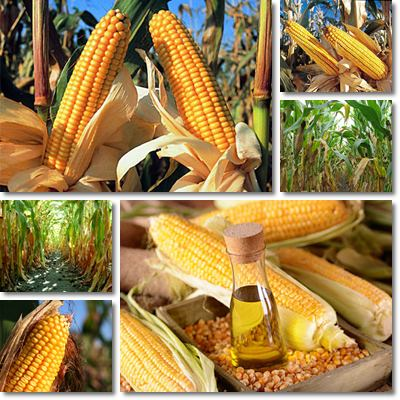 Properties and Benefits of Corn Oil