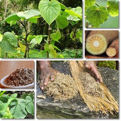 Properties and Benefits of Kava