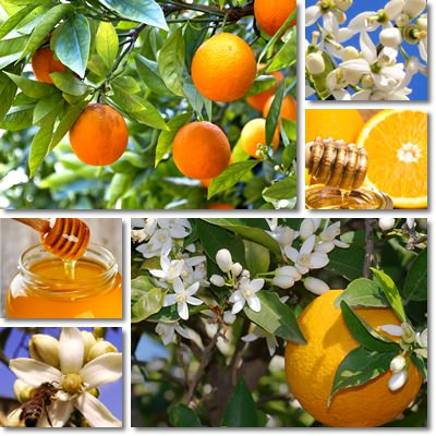 Orange blossom honey properties