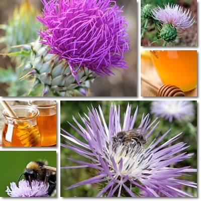Properties and Benefits of Thistle Honey