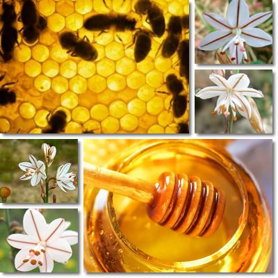 Properties and Benefits of Asphodel Honey