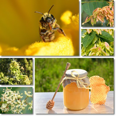 Properties and Benefits of Tree of Heaven Honey