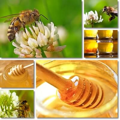 Properties and Benefits of Clover Honey