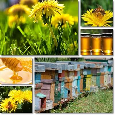 Properties and Benefits of Dandelion Honey