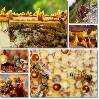 Propolis benefits and side effects