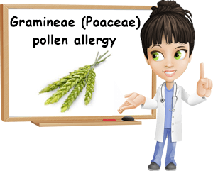 Gramineae Poaceae allergy
