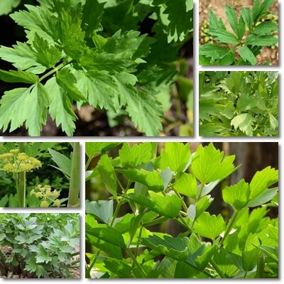 Properties and Benefits of Lovage