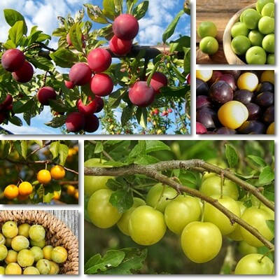 Myrobalan Plum Benefits Natureword