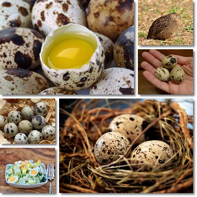 Quail eggs as food
