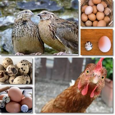 Quail versus chicken eggs