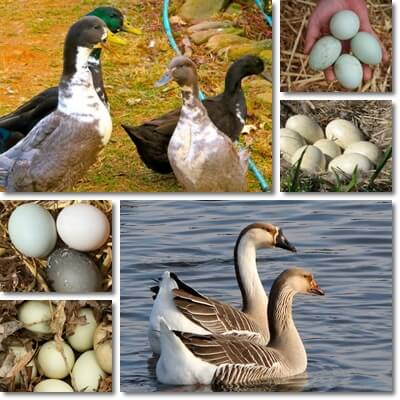 Duck vs goose eggs