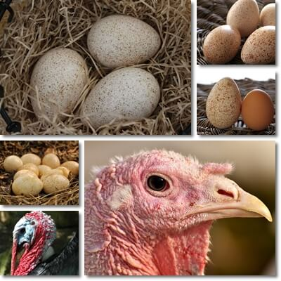 Properties and Benefits of Turkey Eggs