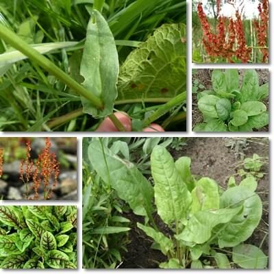 Sorrel leaves health benefits