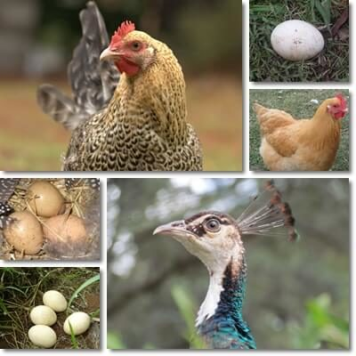 Difference between peahen and chicken eggs