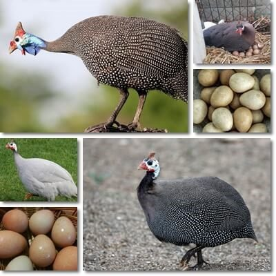 Guinea fowl eggs nutrition