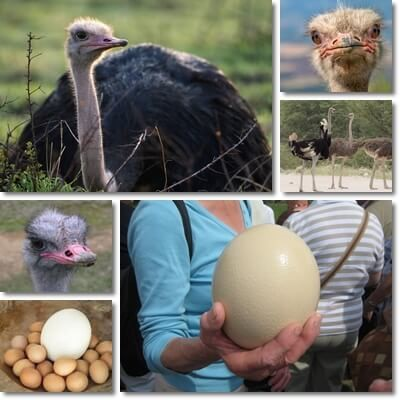 Ostrich eggs benefits