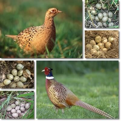Properties and Benefits of Pheasant Eggs