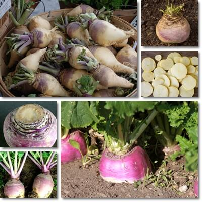 Properties and Benefits of Rutabaga